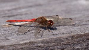 Red-bodied dragonfly