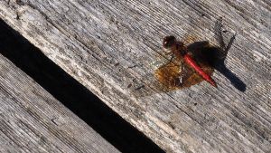 Red-bodied drafgonfly on wooden boardwalk