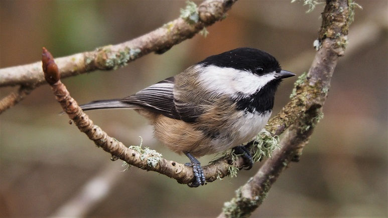 Side view of chickadee on curved twig.