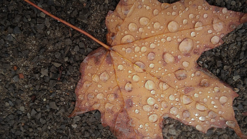 Dried reddish leaf with raindrops, lying on drak grey gravel.