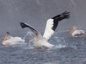Pelican hitting the water.