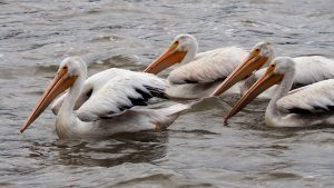 Three pelicans floating calmly on river.