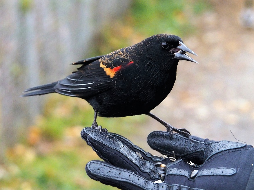 Red-winged blackbird eating sunflower seeds from the hand.