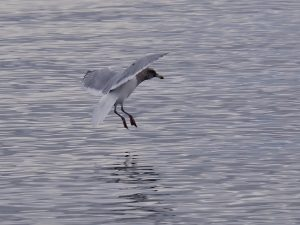 Seagull with wings spread and feet splayed, just above the water.