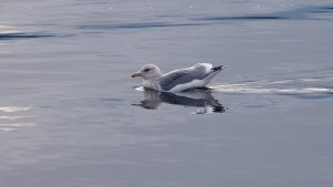 Seagull in regal unconcern, floating on the ocean.