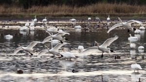 Five trumpeter swans coming in for a landing.
