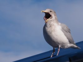 Yawning gull on blue metal roof.