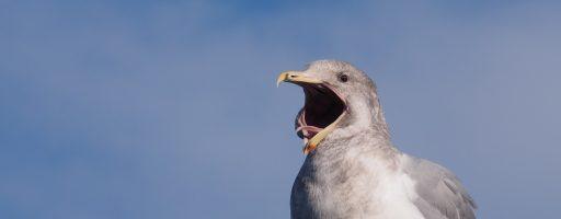 Gull, Qualicum Beach