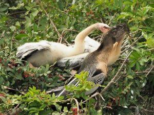 Anhinga adult feeding babies