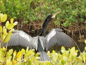 Anhinga with wings spread wide to dry.