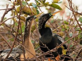 Anhinga post-mating