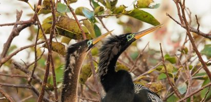 Anhingas in Love, Delray Beach