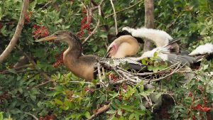 Adult anhinga in nest with two chicks