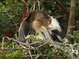 Anhinga feeding chick