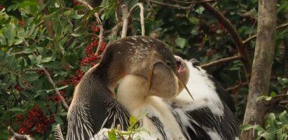 Anhinga Chicks, Venice FL