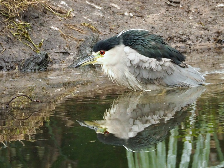 Heron hunting in pond, with reflection.