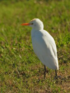 Cattle egret in field.