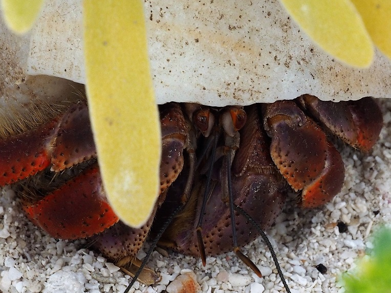 Hermit crab hiding under a low bush.