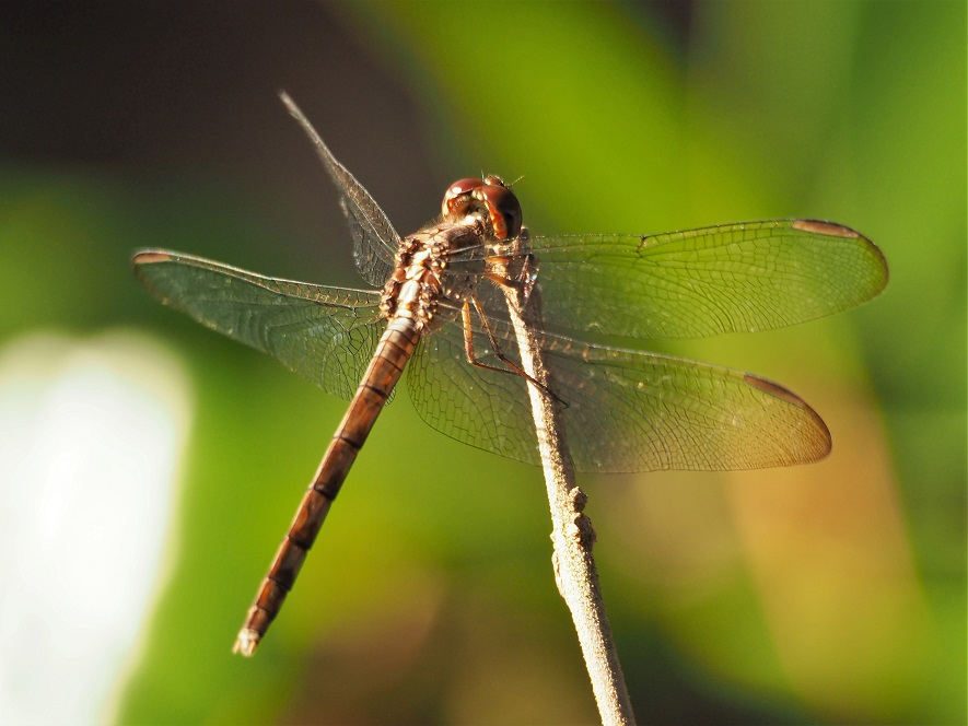 Close-up of dragonfly perched on a dry branch.