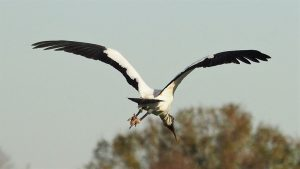 Wood stork, coming in for a landing, beak first.