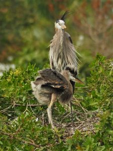 Great blue heron adult with baby, standing in nest
