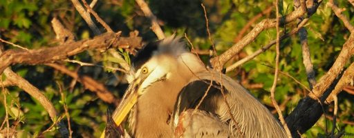 Great Blue Heron and Chicks, Venice FL