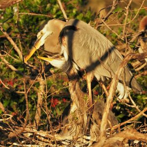 Great blue heron with 2 chicks