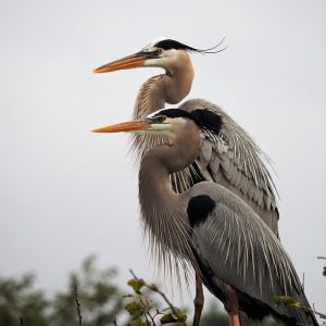 Profile shot of two great blue herons at the nest