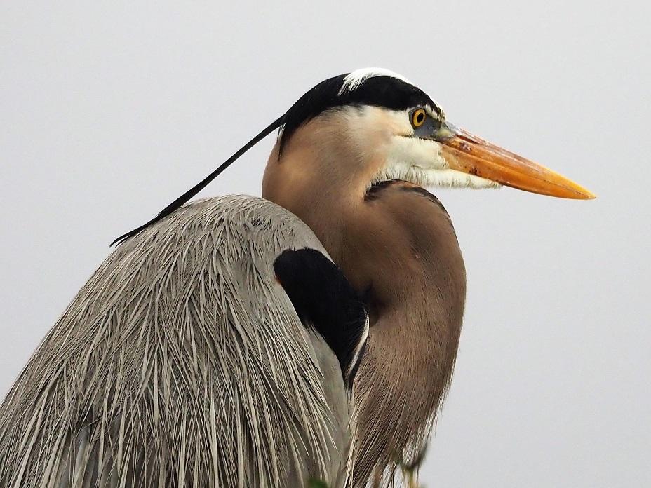 Great blue heron in profile