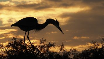 Great blue heron silhouetted against rising sun.