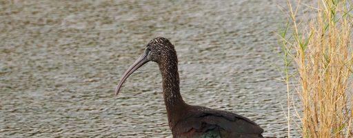Glossy Ibis, Black Point Wildlife Drive