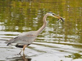 Great blue heron with fish in beak