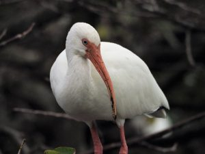 White ibis looking sternly off-camera.