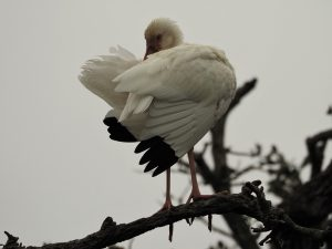 White ibis with wings fluffed up.