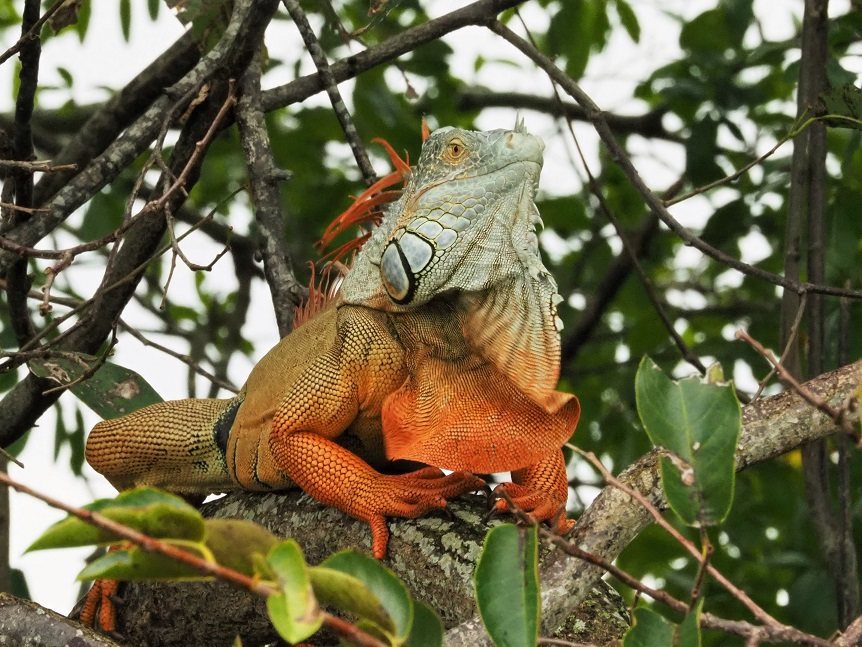 Orange and blue-gray iguana showing off his right profile.
