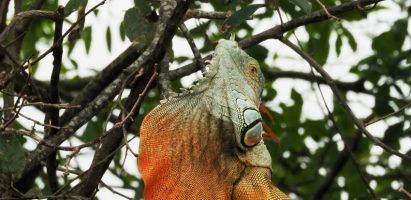Iguanas, Delray Beach FL