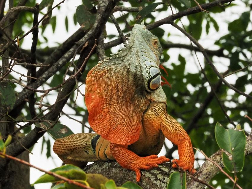 Orange and blue-gray iguana showing off his left profile.