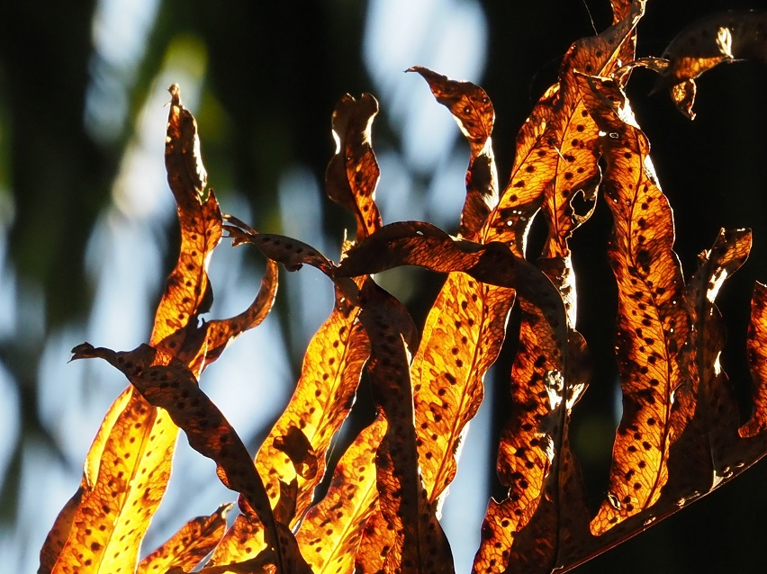 Close-up of dried leaves, yellow/orange in afternoon light.