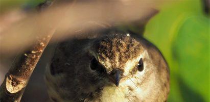 Palm Warbler, Delray Beach FL