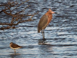Reddish egret in an atypically still pose.