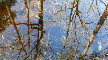 Tree reflections in forest pond