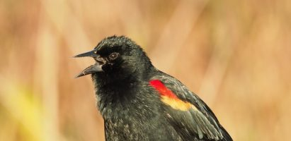 Red-winged Blackbird, Boynton Beach FL