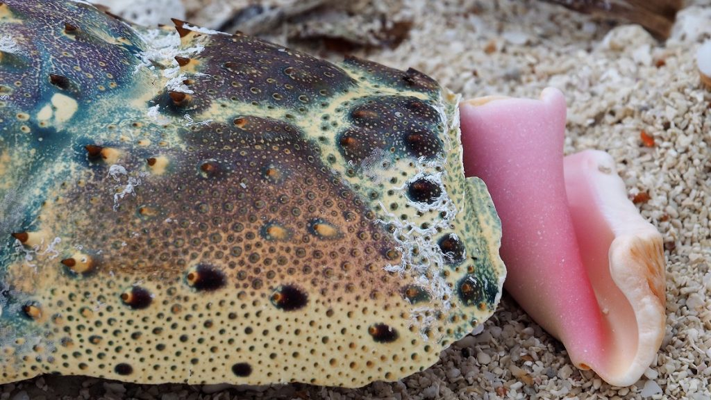 Multi-coloured crab shell and pink interior of whelk shell.