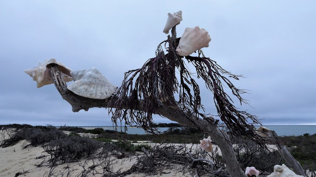Whelk shells stuck on branches of driftwood.