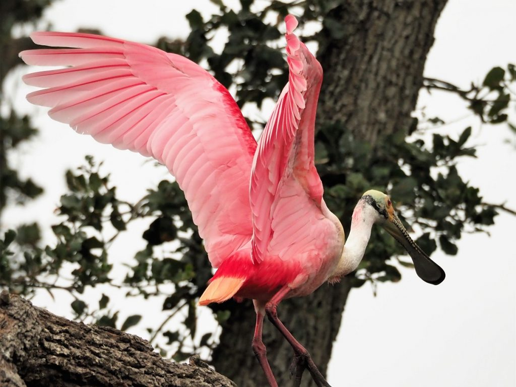 Roseate spoonbill with wings flared