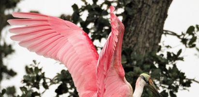 Roseate Spoonbills, St. Augustine FL