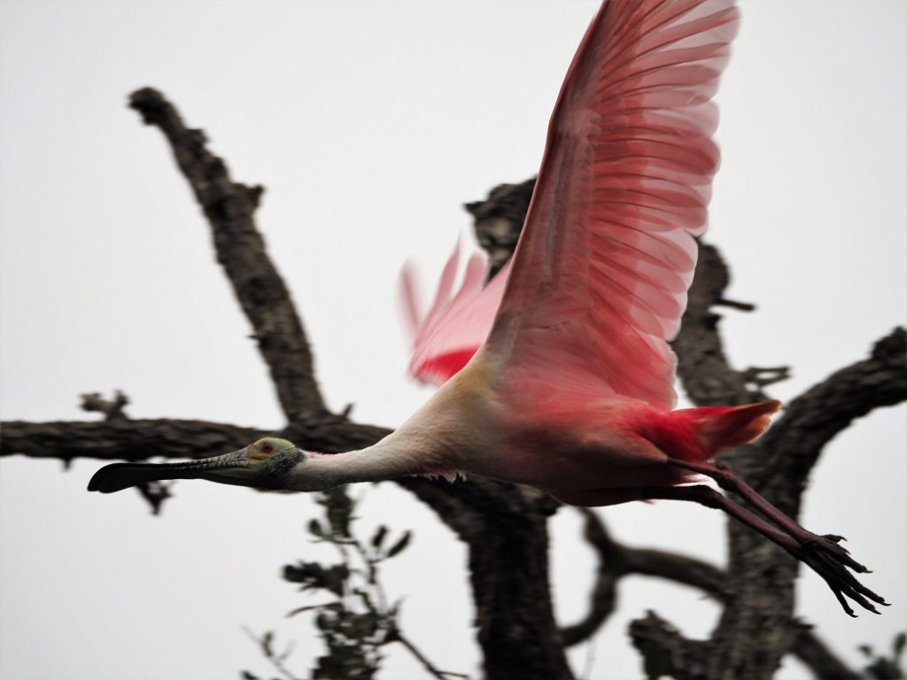 Roseate spoonbill, horizontal in flight