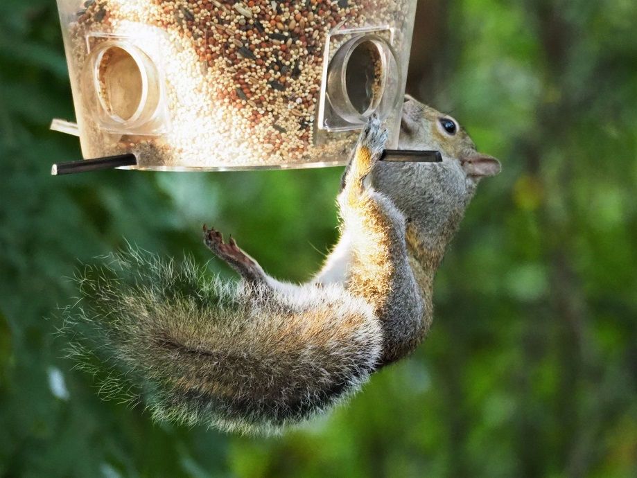 Squirrel hanging by one paw from a bird feeder