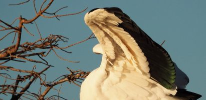 Wood Stork, Delray Beach