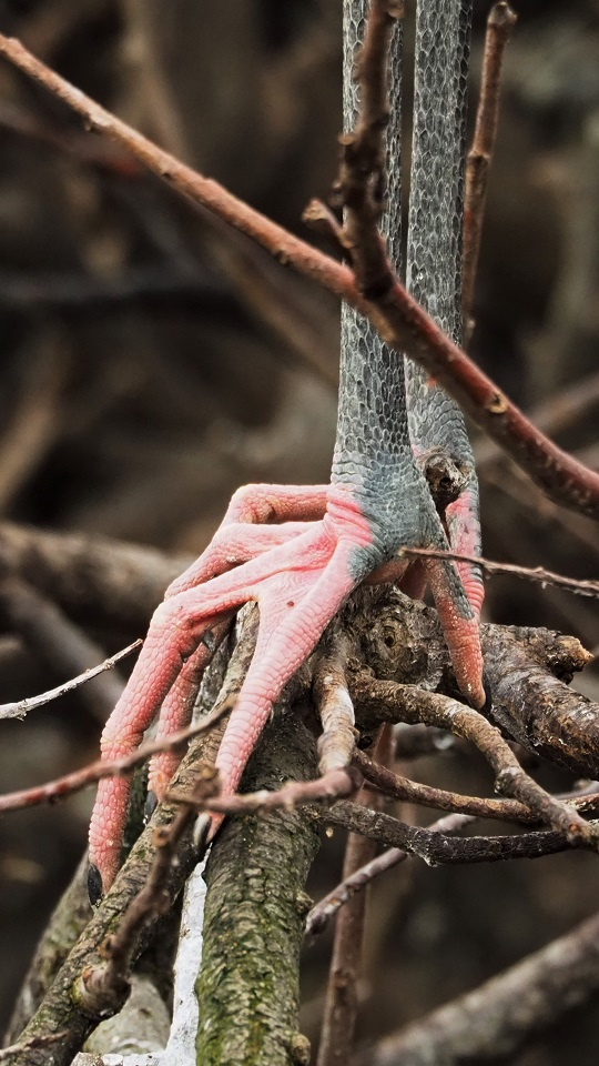 Close-up of wood stork's sinewy pink feet